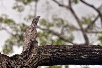 Grand ibijau (Nyctibius grandis)