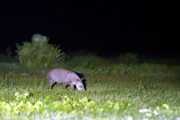 Pantanal-2018_0409_BOF5901